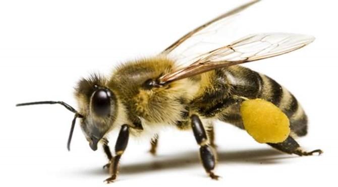 arılar_neler_yapar