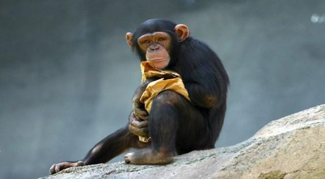 sempanzemaymunu-1