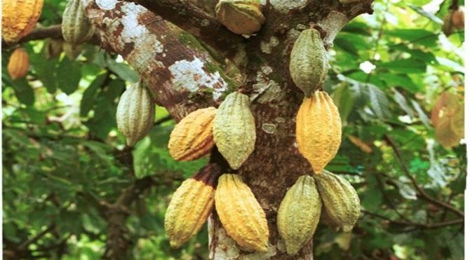 Kakao ağacı
