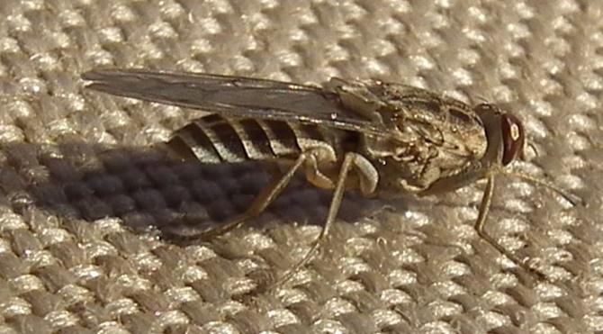 tsetse-flies