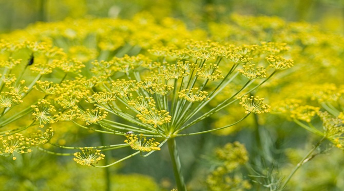 Fennel_flower