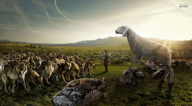 sheep-attacking-the-wolves-21035-1920x1080-1024x576