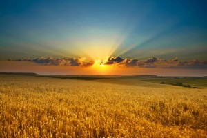 10004-hd-wheat-fields-under-the-sun-300x200