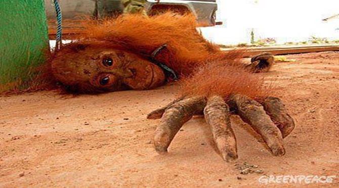 Fotoğraftaki, Endonezya'da fahişe olarak kullanılan ve her gün tecavuz edilen dişi orangutanlardan biri...