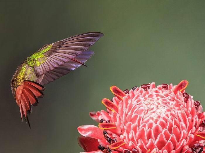 coppery-headed-emerald-hummingbird_83584_990x742