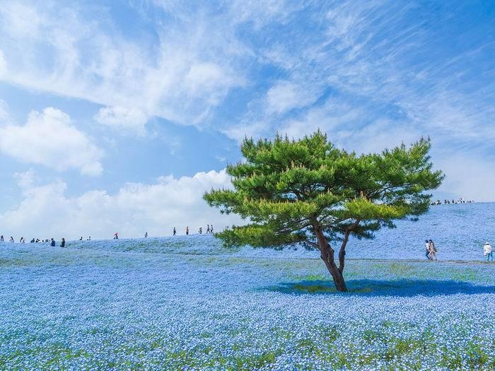 flowering-tree-hitachi_84731_990x742