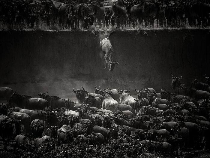 mara-river-wildebeest_84737_990x742