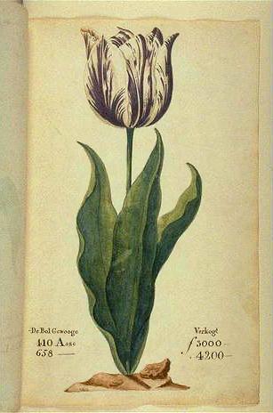 """1637 yılından bir katalogda görülen ve """"Viceroy"""" olarak da bilinen lale. Boyutuna göre değişmekle beraber soğanı 3000 ila 4200 Hollanda Florini arasındadır. O devirde yetenekli bir zanaatkar yılda 300 florin kazanmaktaydı."""