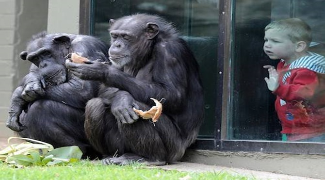 chimps_zoo