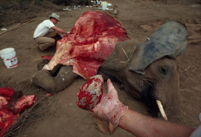 Arkeologlar doğal yollardan ölen bir fil üzerinde, ilkel taş aletlerle eti ne kadar hızlı kesip ayrıştırabileceklerini test etti. Her biri bir saat içinde yaklaşık 45 kilogram et kesebildi. [Fotoğraf: David L. Brill, National Geographic Creative]