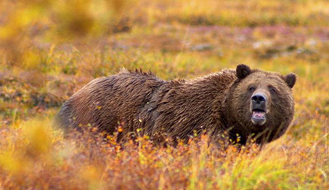 boz ayı, amerikan ayısı