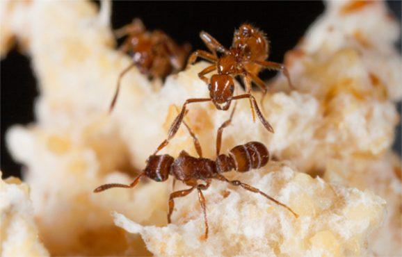 Mantar bahçesinde karıncalar.