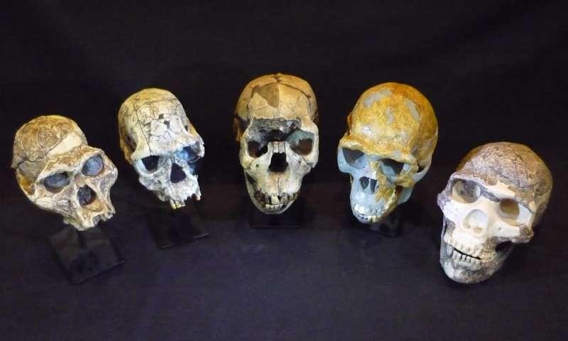 Üstteki fotoğraf: insan evriminin kafatası örnekleri: soldan sağa: Australopithecus afarensis, Homo habilis, Homo ergaster, Homo erectus ve Homo neanderthalensis. Fotoğraflar Güney Avusturalya Müzesi'nde çekilmiştir.