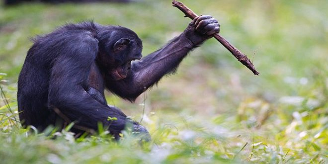 bonobolar