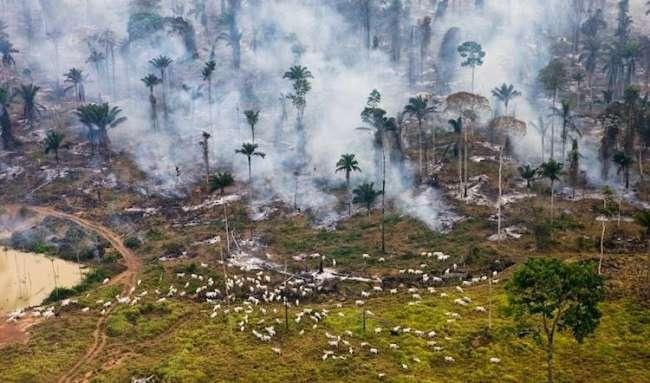Amazon ormanı otlanan sürü için yakılıyor.